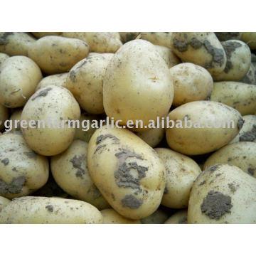 Pomme de terre fraîche de Hollande au Shandong