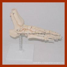 Модель каркаса ноги в натуральную величину, анатомическая модель стопы
