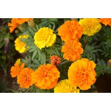 factory low price Used for Sweet William High sprouting rate French marigold seeds export to Guyana Manufacturers