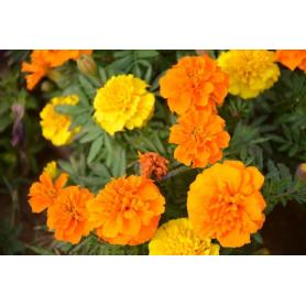 French Marigold Seeds For Sale