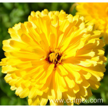 Factory wholesale price for Potmarigold Calendula Hybrid marigold flower seed export to Madagascar Manufacturers