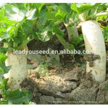 Sementes de rabanete híbrido MR13 Huyu branco f1 para o plantio
