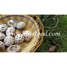 Cogumelo Shiitake desidratado vegetal branco flor seca