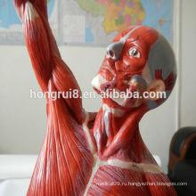 ГОРЯЧАЯ ПРОДАЖА продвинутые точно мужские мышцы анатомические