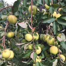 NingXia Fresh Super Grade Organik Golden Delicious