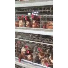 Poulet couche oeuf poulet cage automatique buveur système d'alimentation