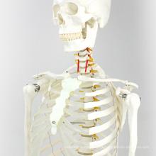 SKELETON01 (12361) Medical Science - Modelos anatómicos médicos esqueléticos de tamaño natural, 170 cm