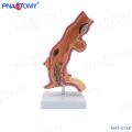PNT-0748 Oesophagus pathology model esophageal anatomy
