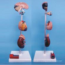Медицинская демонстрационная модель для лечения заболеваний органов дыхания человека