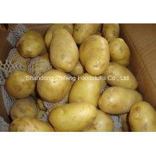 Pomme de terre fraîche avec prix compétitif