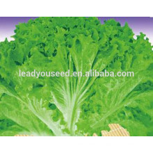 MLT03 Cuye maturité précoce froissé grand fournisseur de graines de laitue feuilles