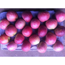 Red Qinguan Apple/Chinese Fruit of Good Quality