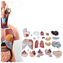 TORSO07 (12018) Modelo de educación escolar 85CM Torso humano unisex 23 piezas, rostro femenino, modelo anatómico humano