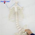 Modèle de colonne vertébrale grandeur nature PNT-2120 avec côtes et bassin