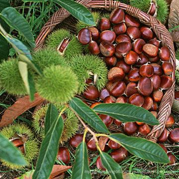 Fresh High Quality New Chestnut