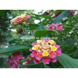 Lantana Flower seeds Lantana camara Seeds Fragrant Flowers for planting