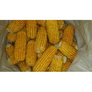 Forneça alta qualidade de milho doce