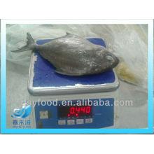 Gefrorene schwarze pomfretfische