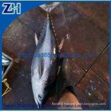 Landfrozen Pacific Bluefin Tuna fish