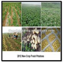 organische Kartoffel