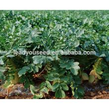 MR03 Xibai alta resistencia al frío semillas largas de rábano para plantar
