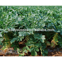 MR03 Xibai high cold resistance long radish seeds for planting