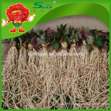 Haute qualité Natural Heartleaf houttuynia cordata thunb
