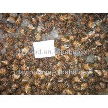 Frozen Tiger Snail Price