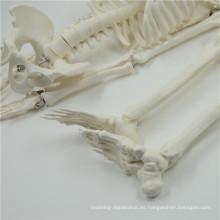 Venta caliente 1/2 mini modelo de esqueleto de tamaño natural