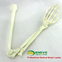 Osso de simulação por atacado 12325 osso de membro superior anatomia médica artificial, ortopedia prática osso de simulação