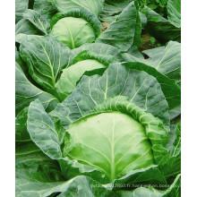 HC03 Luoshi résistant à la chaleur, rondes graines de chou hybride F1 vert foncé