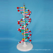 High Quality Medical Research DNA Enlarged Model School Supply