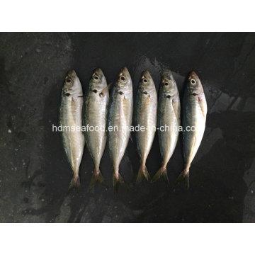 Neuer Land Fisch Gefrorener runder Scad