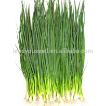 SH01 Liansheng petites graines d'oignon vert, op graines d'échalote