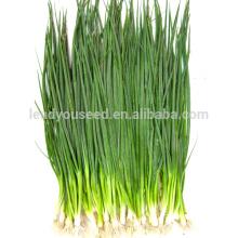 SH01 Liansheng pequenas sementes de cebola verde, op sementes de cebola