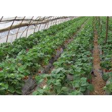IQF congelant la fraise organique HS-16090904