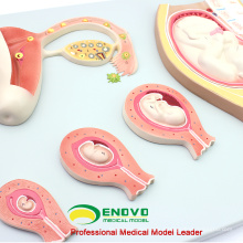 SELL 12453 Embryonic Process Model Development from Unfertilized Ovum 9th