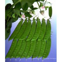 HPE01 Canye frio e resistente ao calor OP sementes de ervilhas de neve verdes em sementes de hortaliças