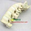 TF02 (12313) orthopédique sacrum lombaire squelette modèle éducatif