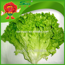 Frisches Gemüse grünes Blatt Salat Bio-Gemüse