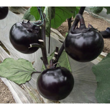 HE07 Konzi ronde graines d'aubergines hybrides noires