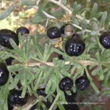 Wholesale black goji berry plant young Seedlings,Best quality kidney black goji berry plant from Ningxia