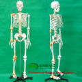 SKELETON09 (12370) Medical Science 180 Humans Skeleton Model w/ Ligament Male Female Optional 12370