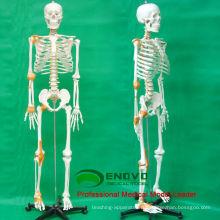 SKELETON09 (12370) медицинские науки 180 человека скелет модель W/ связка Мужской Женский необязательно 12370
