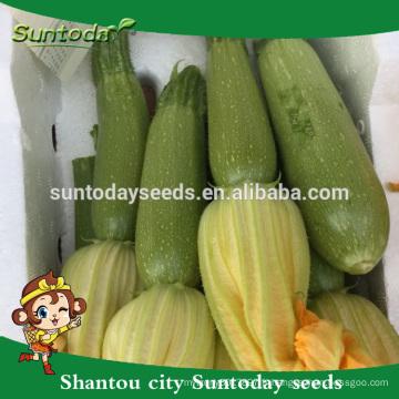 Suntoday Légumes asiatiques NON OGM hybride F1 Courge vert clair bio Graines japonaises de citrouille Kabocha (17011)