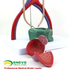 VENDER 12425 Modelo de Sistema Urinário Humano de Ciências Médicas para Educação Escolar