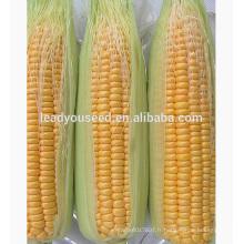 MCO01 Keai super doux hybride graines de maïs jaune entreprises