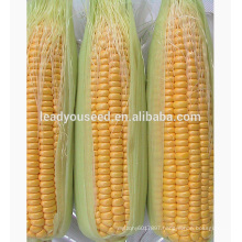 MCO01 Keai super sweet hybrid yellow corn seeds companies