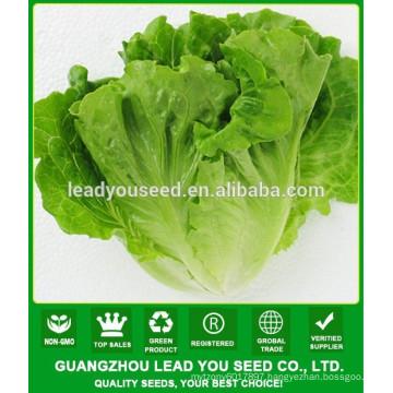 NLT03 Xiwan OP high yield best lettuce seeds