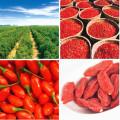 Délicieux vente chaude rouge séchée goji berry